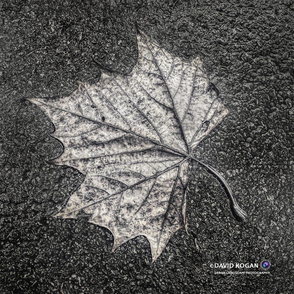 Fall - Leaf in Black & White